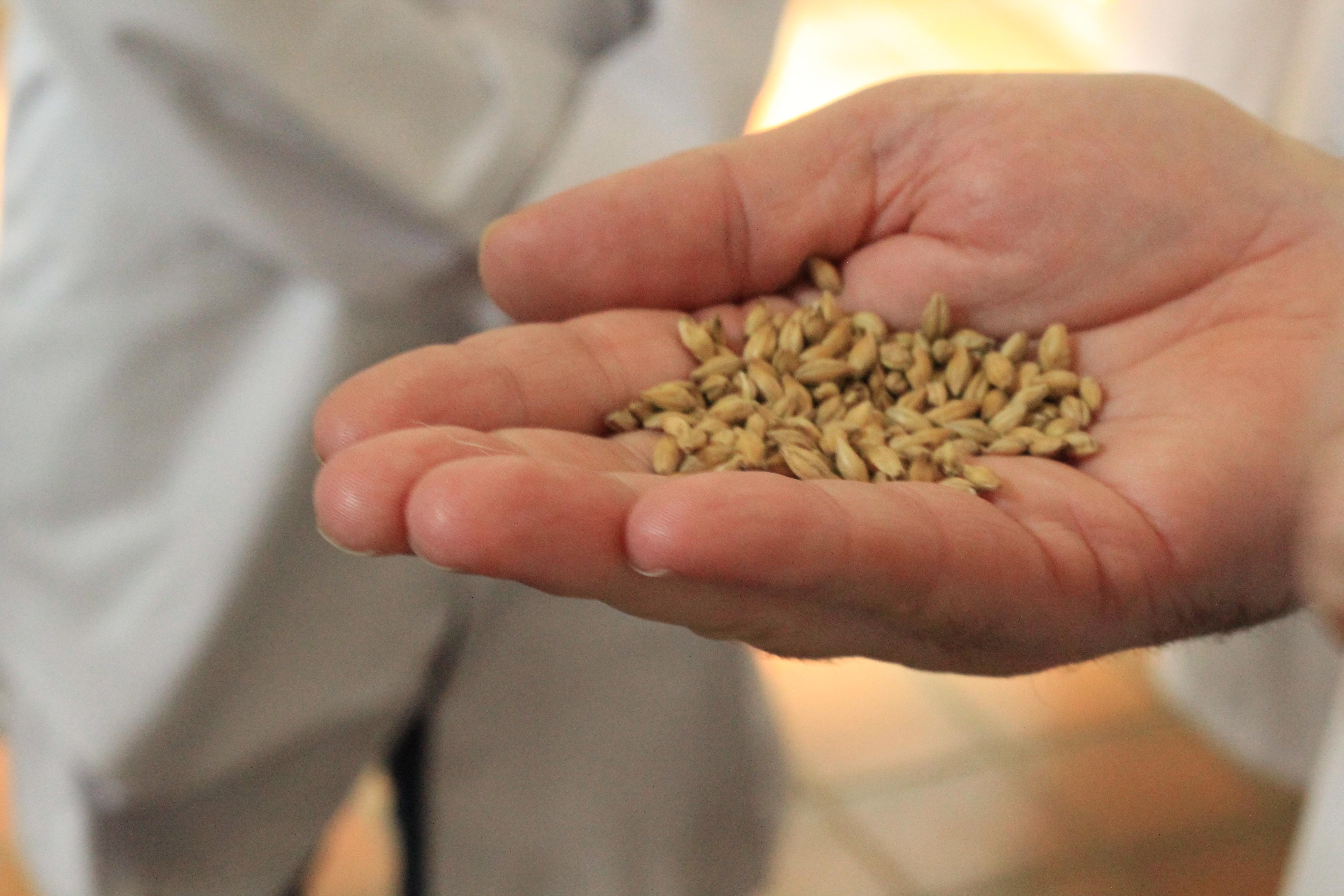 sarson's malted barley
